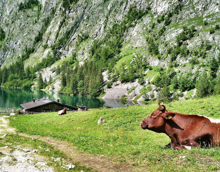 Kuh auf Wiese an der Fischunkelalm im Nationalpark Berchtesgaden