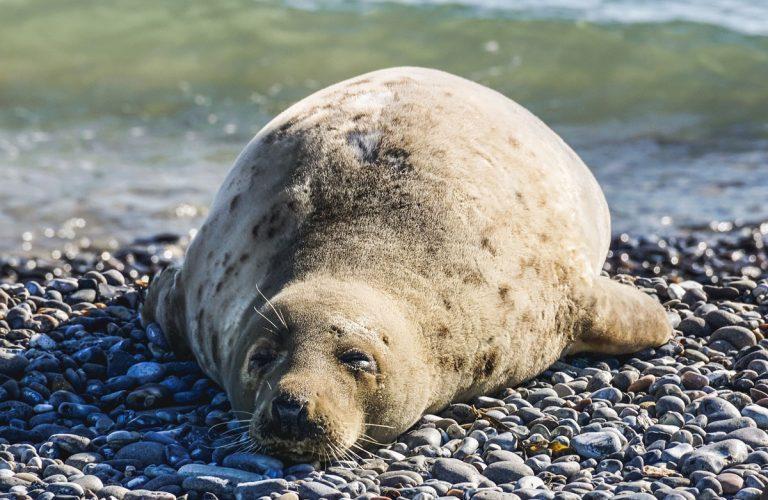Schlafender Seehund auf Steinen