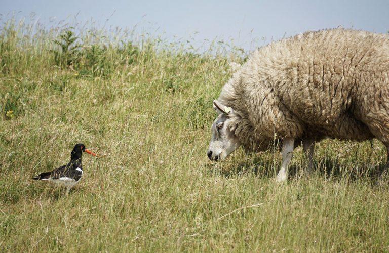 Schaf und Austernfischer an der Nordsee zwischen Gräsern